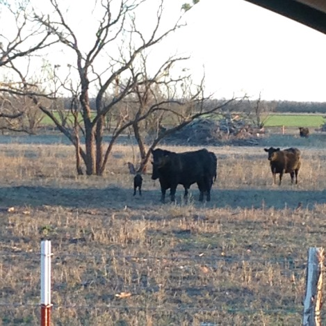 A typical view of winter in West Texas...with the first calf of calving season!